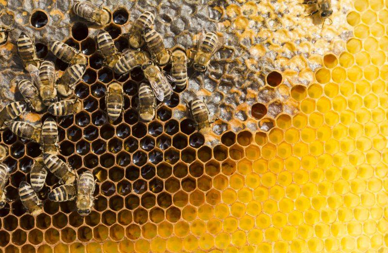 Jak powstaje wosk pszczeli?