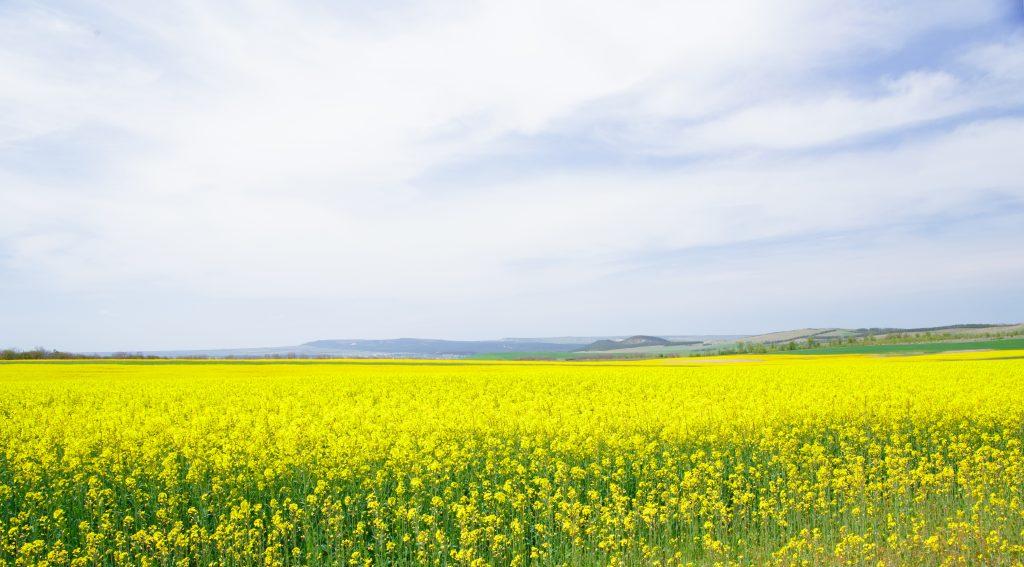 Pola rzepaku z którego pszczoły zbierają zdrowy miód