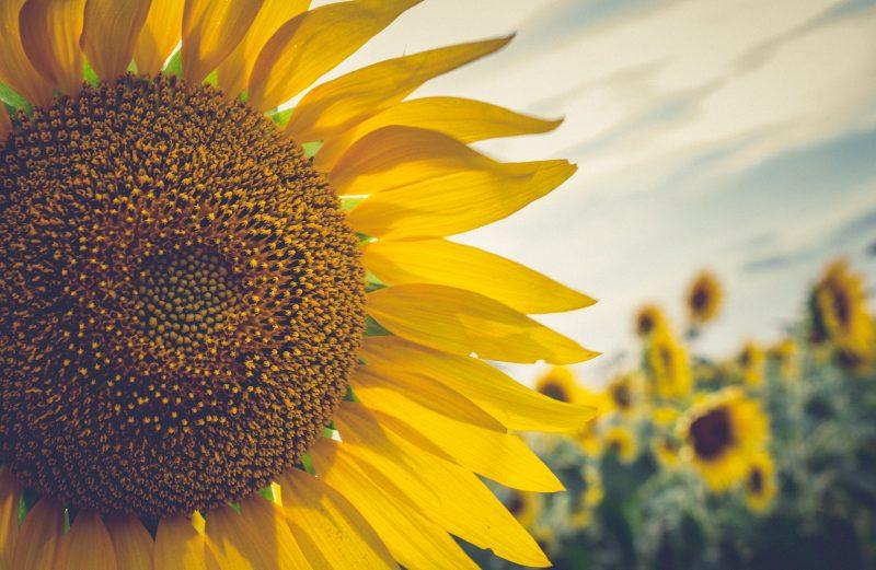 Miód słonecznikowy skład, właściwości, cechy