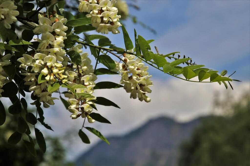 kwiat akacji miód akacjowy