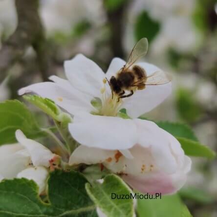 Dziś Światowy Dzień Pszczoły